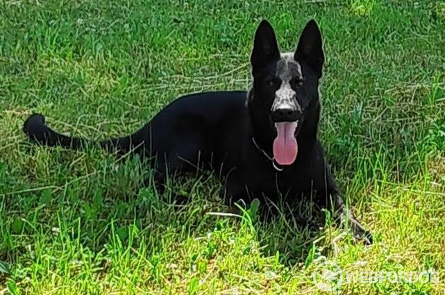roční celočerný pes NO s PP