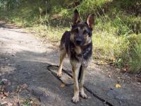 REX - Německý ovčák - kastrovaný pes, 6 let.