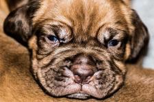 Prodej štěňat bordeauxské dogy