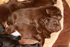 Čokoládová štěňátka Labrador Retriever s PP