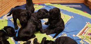 Predám šteňatá čierneho ruského teriéra
