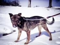 REK - Ovčák x Labrador - pes 8 let