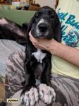 Hľadáme nové rodiny pre šteniatka Nemeckej dogy