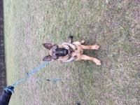 10 měsíční Pes a Fanka na prodej NO