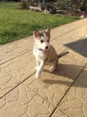 Sibirsky Husky - šteniatka