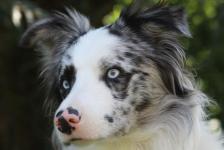 Blue Merle Border Kolie (blue eye, gray/white)