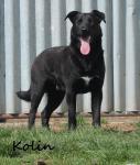 KOLIN - Kříženec - pes