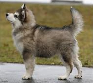 Aljašský malamut- úžasná štèňata s PP