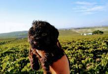 Španělský vodní pes - import ze země původu