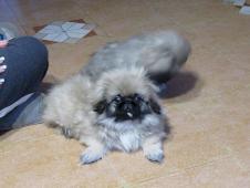 Pekingský palácový pes, pekinéz s PP