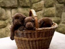 Labradorský retrívr- hnědá  a černá  štěnátka s PP