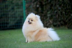 Pomeranian- prodám fenku s PP