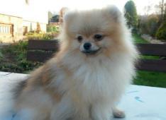 Pomeranian- prodám fenečku s PP