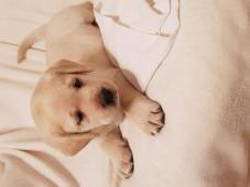 Labradorský retriever štěňátka s PP