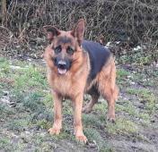Německý ovčák pes typ Rex