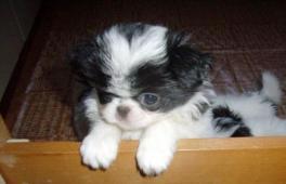 japan chin štěně