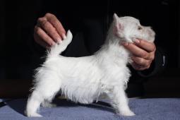 West highland white terrier s PP