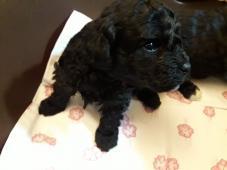 Predávam šteniatko čierneho trpasličieho pudla.