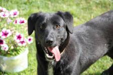 ATARI - labradorský retrívr x - pes štěně