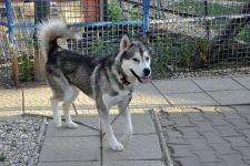 KASIUS - Sibiřský husky - pes 3 roky.