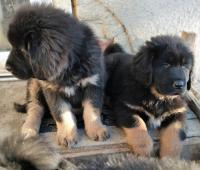 Tibetská doga - štěňata s průkazem původu