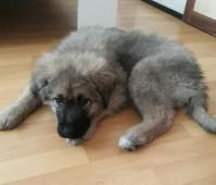 Štěně kavkazského pasteveckého psa
