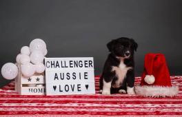 Australský ovčák s PP zahraniční krytí