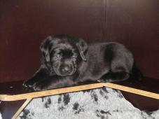 Labrador - štěňátka s PP