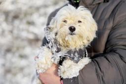 WEGA - Maltézský psík x kříženec - fena okolo 4 le