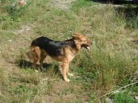 RUFUS - Německý ovčák - pes