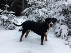 Velký švýcarský salašnický pes - fena s PP - 4 rok