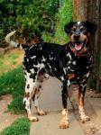 BENÍK - Dalmatin x Ohař - kastrovaný pes, 5 let.
