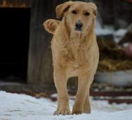 DONA - Zlatý x Labradorský retrívr - kastrovaná fe