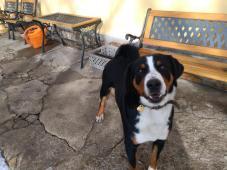 Appenzellský salašnický pes hledá akutně nový domo