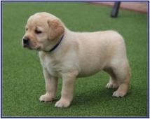 Labrador retriever s PP (FCI)