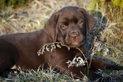 Labrador retriever - krásná čokoládová holčička s