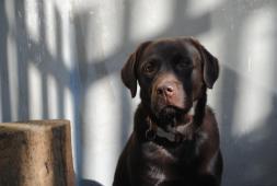 Labradorský retrívr- mladá hnědá  fenka s PP