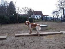 RUBY - Bretaňský ohař - odrostlé štěně 10 měsíců