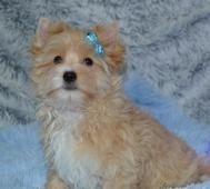 Golddust Yorkshire Terrier-jorkšír s PP