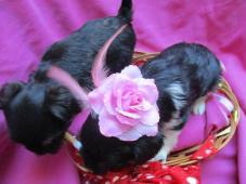 jorkšírský terier yorkshire terrier