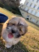 Štěňátko (pes) Lhasa Apso na prodej s PP
