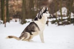Sibiřský husky- kvalitní štěňata