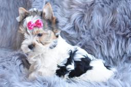 Biewer Yorkshire terrier s PP fenečka