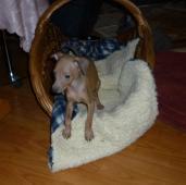 Italský chrtík - štěně, fenka s PP, isabelle barvy