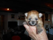 Pomeraniana,německý trpasličí špic