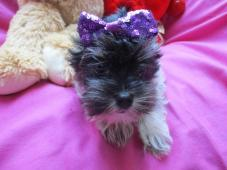 yorkshire terrier,jorkšírský terier
