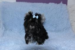 Jorkšírský terrier s PP mini