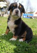 Velký švýcarský salasnicky pes