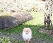 Pomeranian, prodám fenečku s PP