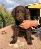 Flat coated retriever s PP hnedy